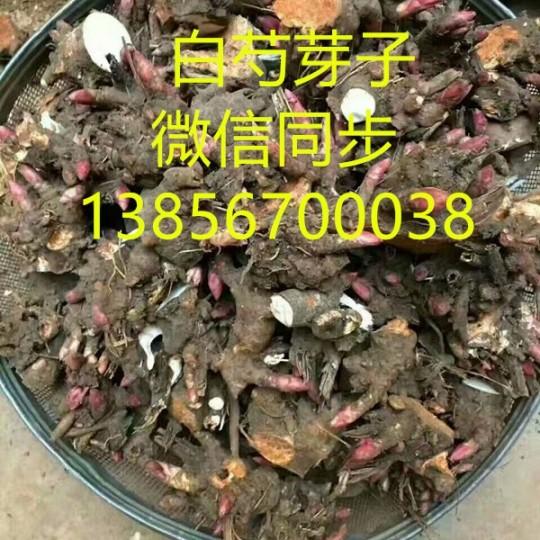 亳州白芍芽子