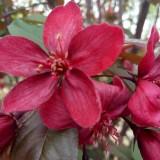红宝石海棠