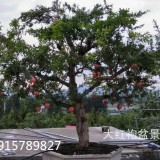 出售山东枣庄大红袍造型盆景园林25-45公分