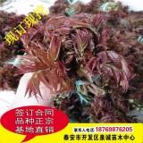 大棚红油香椿苗
