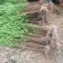 4年生红豆杉占地苗高70-180CM