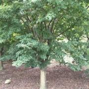 17到24公分鸡爪槭