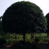15公分桂花(八月桂) 桂花树