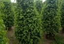 2米高精品垂叶榕