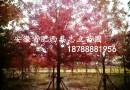 红叶碧桃4公分