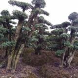 地径20公分造型榆树