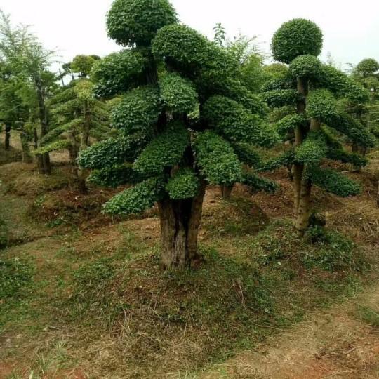 精品雙桿造型榆樹