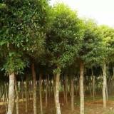 移栽杜英12-15公分移栽杜英  杜英树