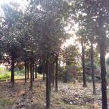 米径15公分广玉兰 玉兰价格 玉兰树