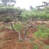 造型油松-山东造型油松-大型造型景观油松树培育基地