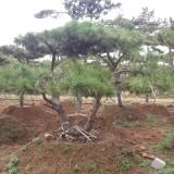 造型油松-精品造型油松树-山东大型景观造型松树培育基地