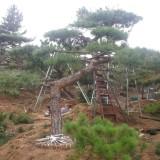 造型油松—工程造型油松树—山东大型景观造型松树培育基地