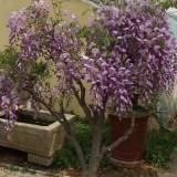 6公分紫藤盆景