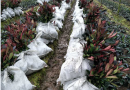 红叶石楠袋