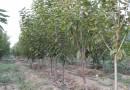 5公分梨树