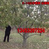 8公分占地杏树