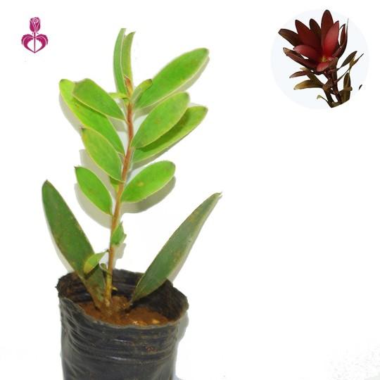 澳洲木百合苗