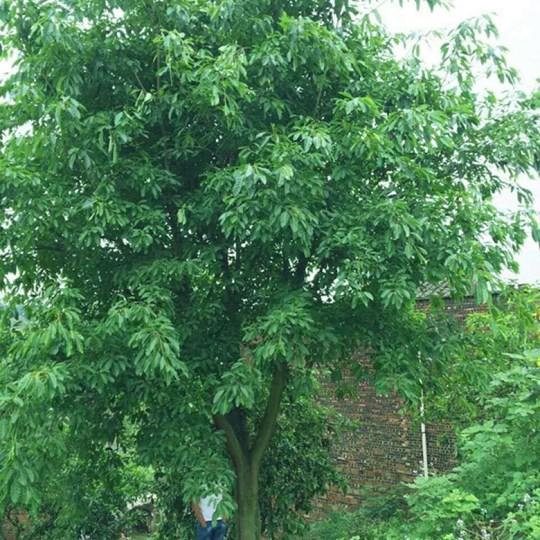 黃葛樹/黃桷樹/黃葛樹價格/四川黃葛樹/瀘州黃葛樹/重慶黃葛樹