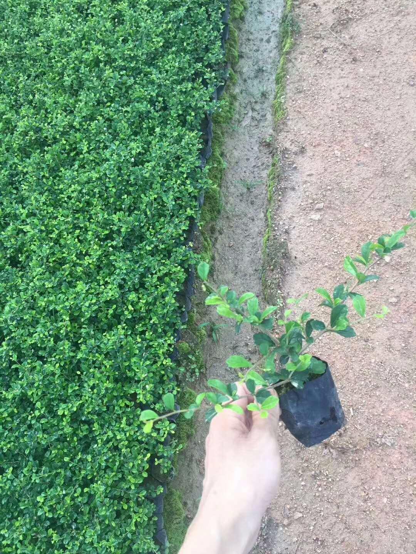 福建茶 小苗福建茶特价供应 地被绿篱福建茶价格