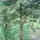 8公分落羽杉