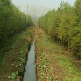 5公分池杉