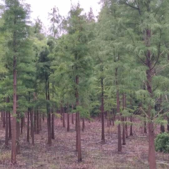 2公分池杉