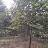 6公分红榉树
