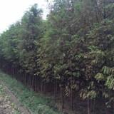 4公分水杉