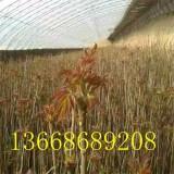 大棚红油香椿