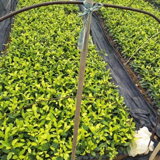 高15公分黃金榕|黃金榕價格  黃金榕袋苗