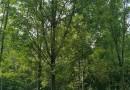 1.5米高法桐小苗