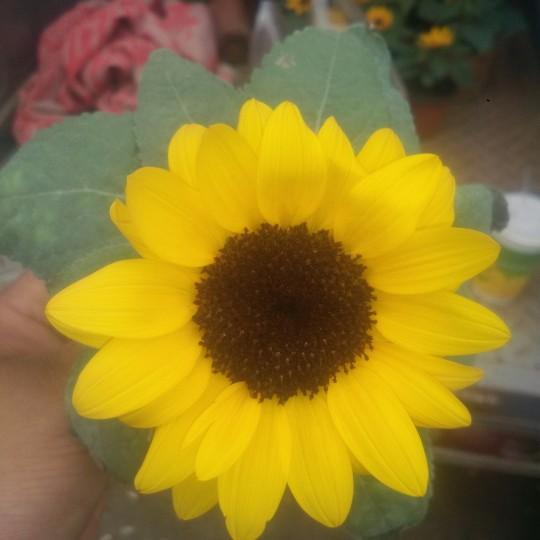 觀賞向日葵