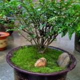 清香木盆景