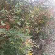 处理2公分垃圾五角枫占地荒山造林苗