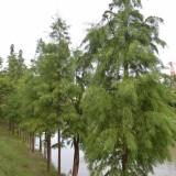 7公分池杉供应