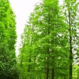 9公分池杉供应