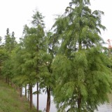 10公分池杉供应