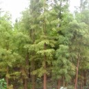 8公分池杉供应