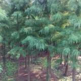6公分池杉供应