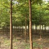 5公分池杉供应