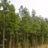 4公分池杉供应