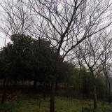 15公分朴树