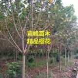 成都樱花 5公分樱花价格  樱花种植基地