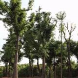 15公分红榉树
