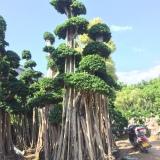 四川造型小叶榕桩头