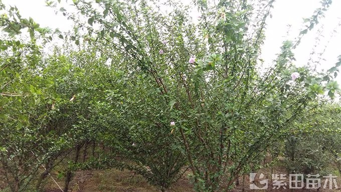 地径5公分木槿