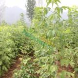 米径4公分金叶复叶槭