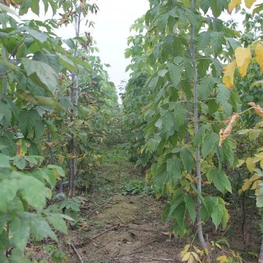 米徑6公分復葉槭