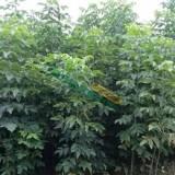 米径2公分青竹复叶槭