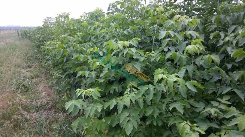地径0.8公分青竹复叶槭